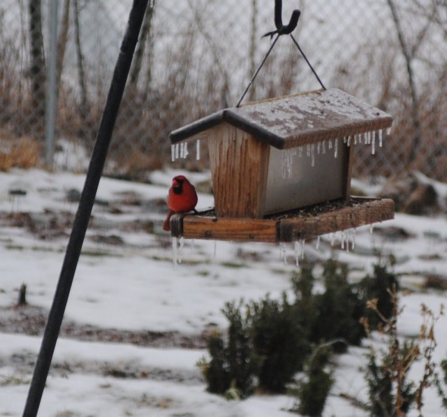 icy cardinal at feeder