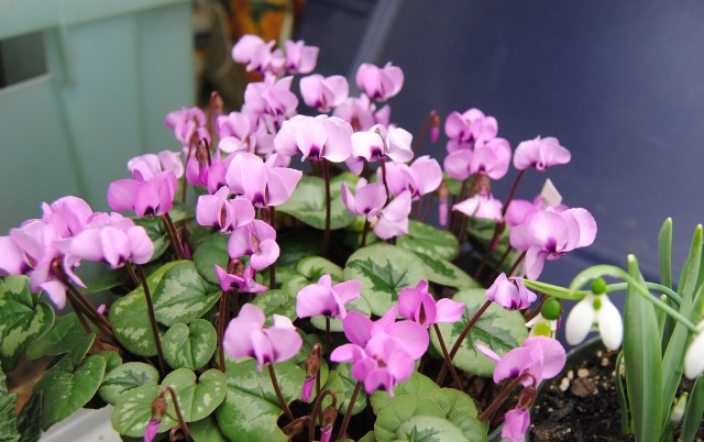 Cyclamen coum under lights