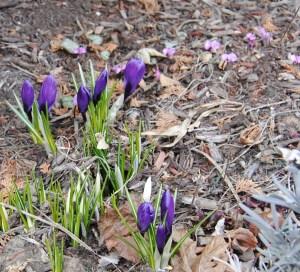 Purple dutch crocus hybrids