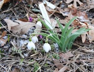 galanthus naughton