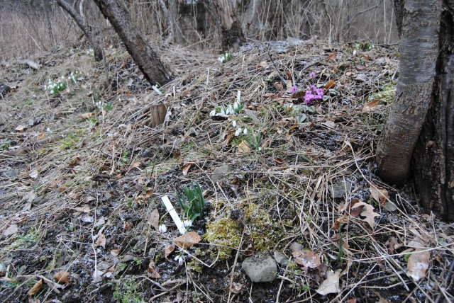 hardy cyclamen and snowdrops