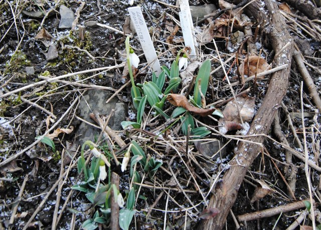 galanthus lord monostictus