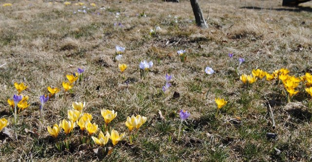 naturalized crocus