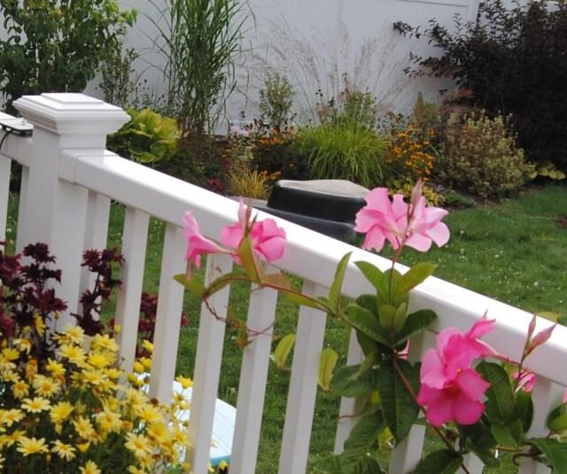 mandevilla railing