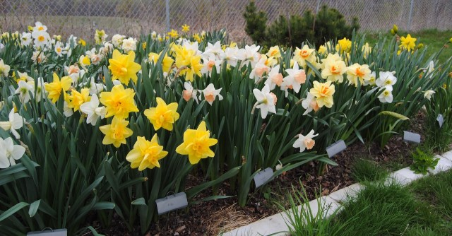 daffodil beds