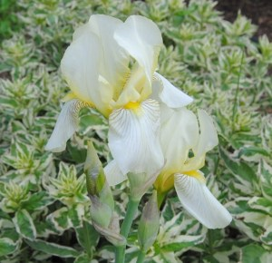iris flavescens