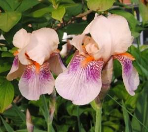 iris color carnival