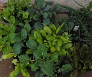 vegetable transplants
