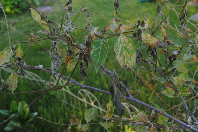 freeze damage wisteria