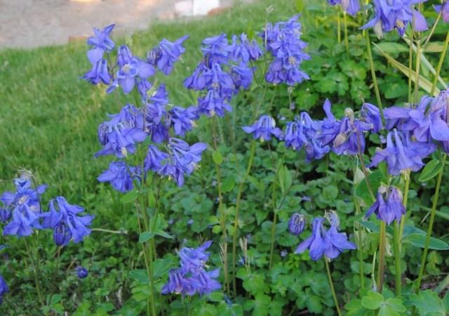 aquilegia vulgaris blue