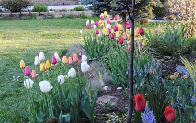 scheepers tulip hybrids