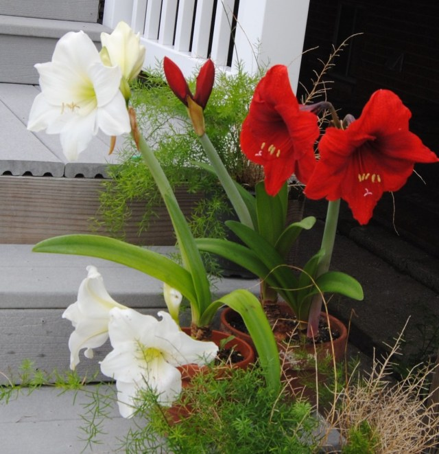 amaryllis rebloom