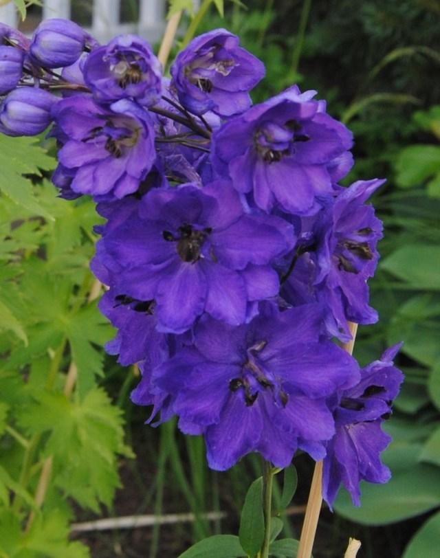 perennial delphinium