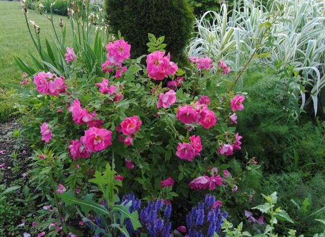 rose william baffin