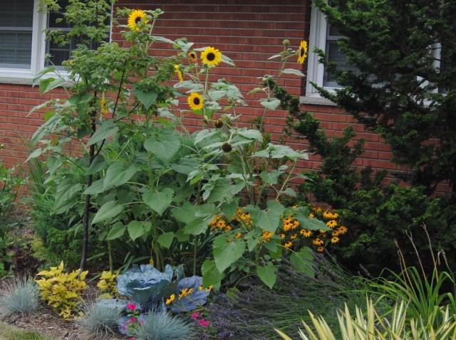 self sown sunflower