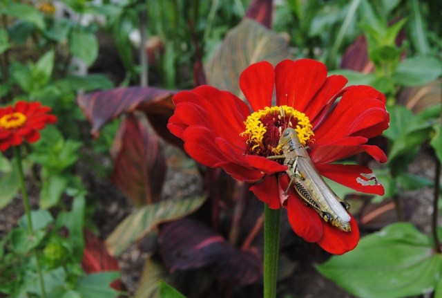 grasshopper eating flower