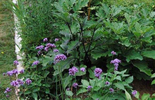 purple vegetable garden