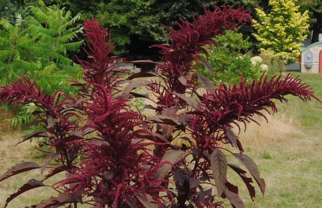 amaranthus hopi dye