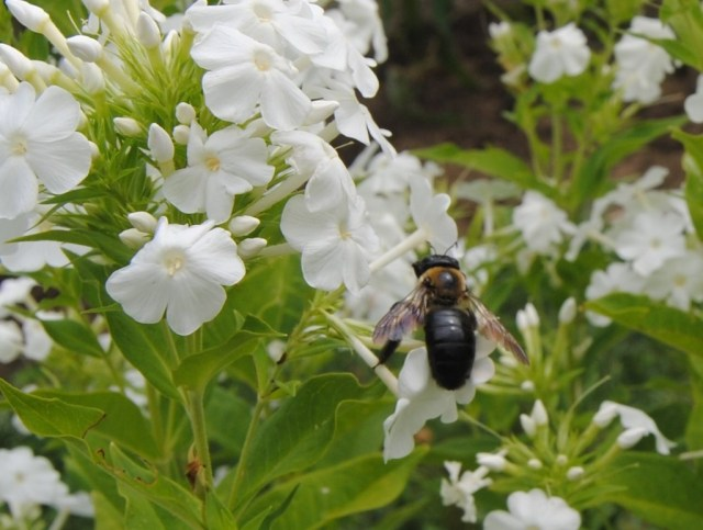 carpenter bee on phlox