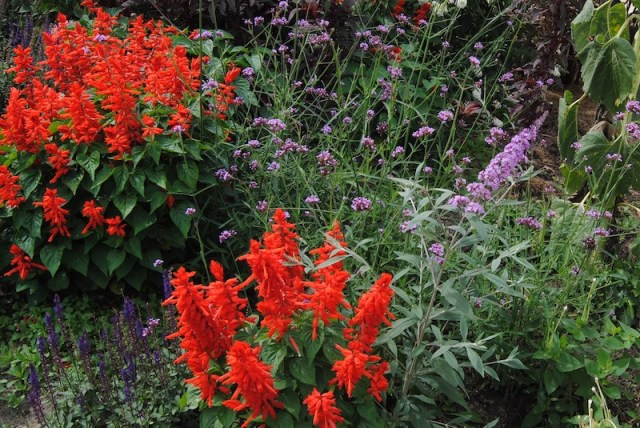 red salvia splendens