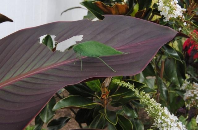 katydid eating canna