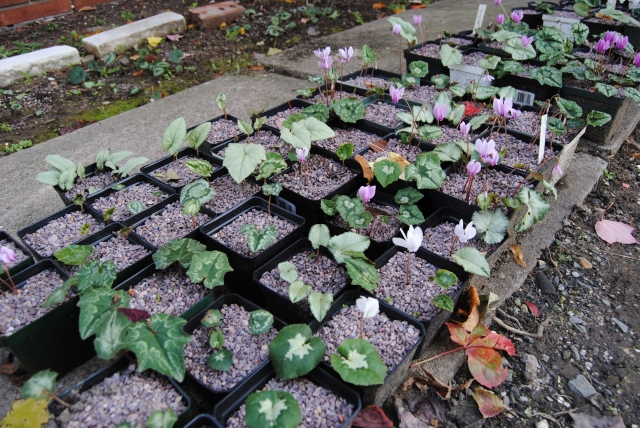 cyclamen hederifolium seedlings