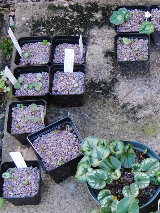 fall cyclamen seedlings