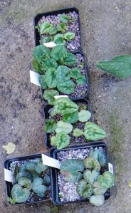 cyclamen seedlings