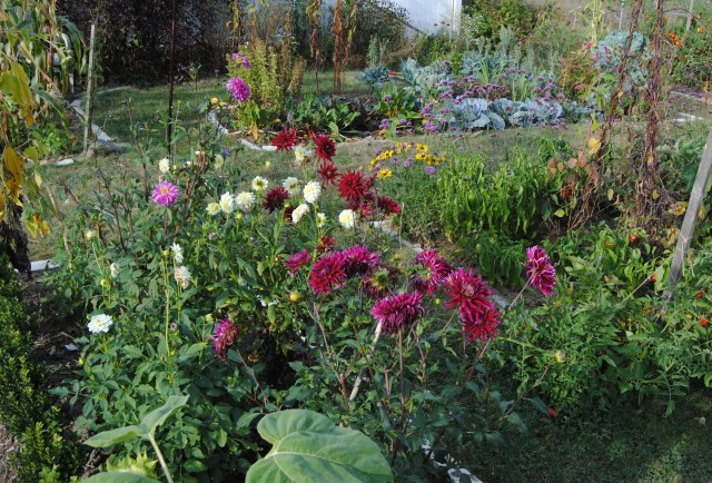 dahlias in the vegetable garden