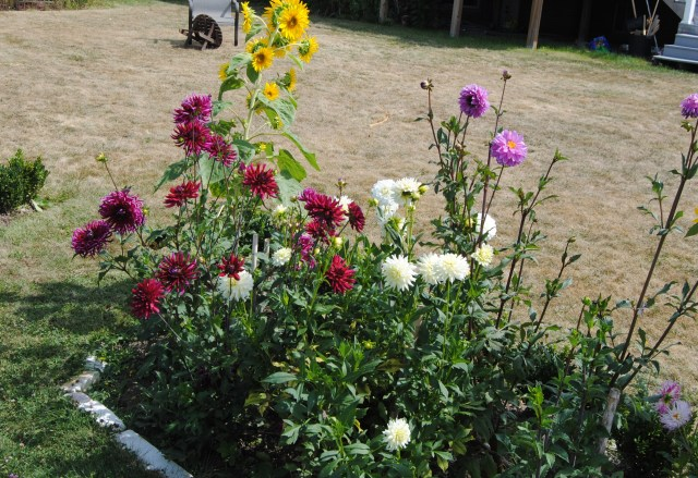 mixed dahlias for cutting