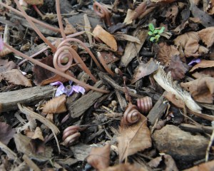 coiled up cyclamen seed pods