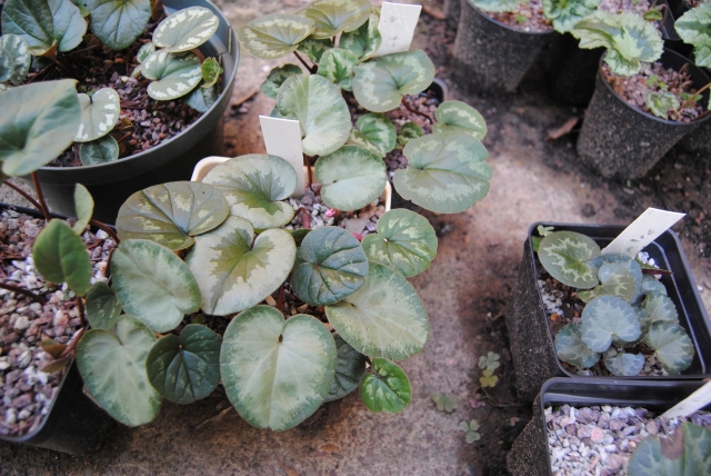 cyclamen coum leaves