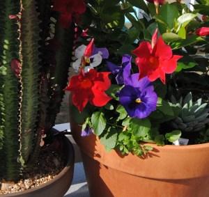 red Dipladenia with pansies
