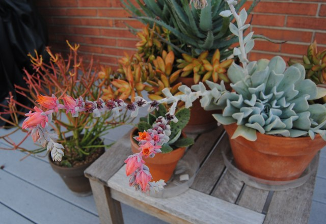 blooming succulents on deck