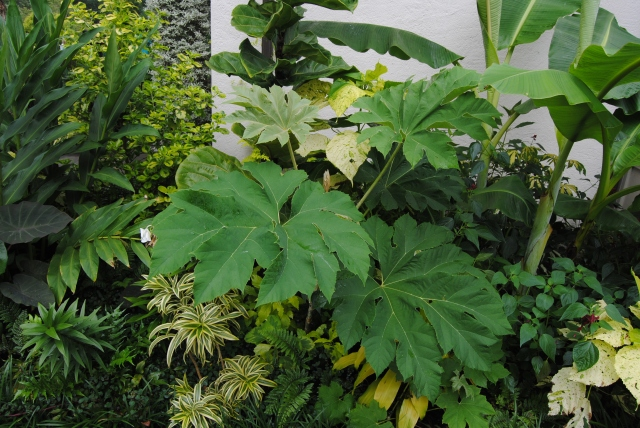 chanticleer rice paper plant tetrapanax
