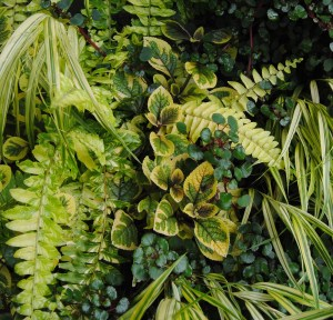 chanticleer variegated boston fern