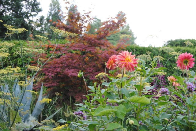 chanticleer dahlias in bloom with japanese maple