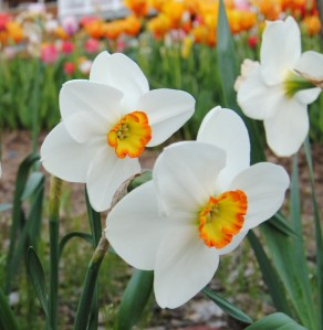daffodil excitement
