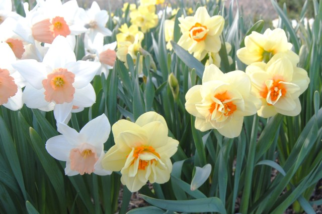 daffodil tahiti and accent