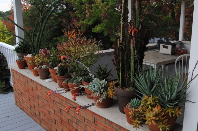 cacti and succulents on the deck