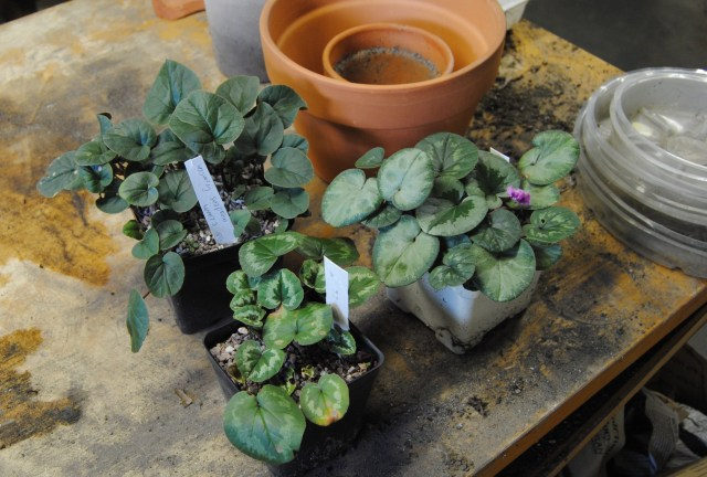 cyclamen coum ready for repotting