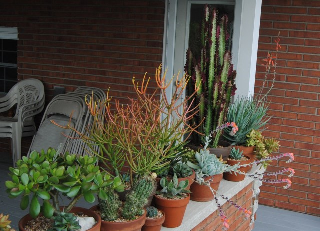 preparing tabletop succulents for winter