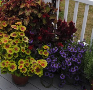 colorful foliage on a pelargonium