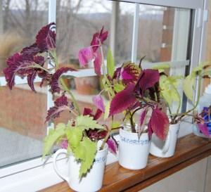 coleus cuttings in February
