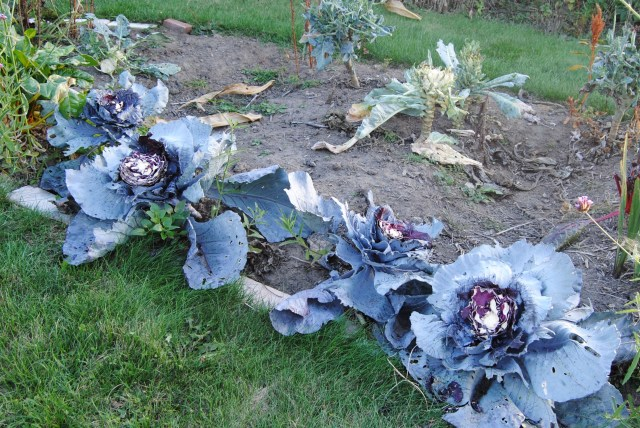 groundhog damage to cabbages