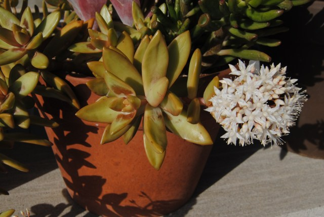 potted succulents flowering