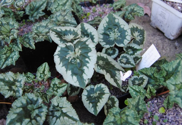 silver edged cyclamen hederifolium