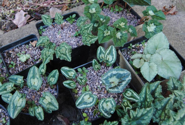 cyclamen hederifolium foliage