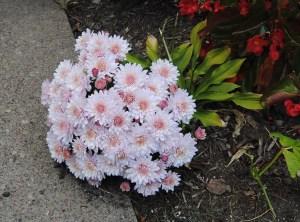 selfsown chrysanthemum