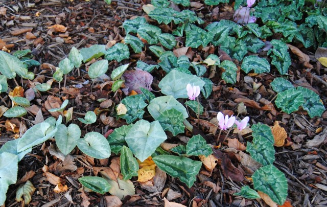 fall cyclamen blooms